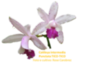 Cattleya intermedia nativa puntata tico-tico