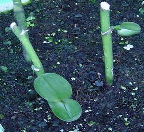 Como fazer mudas de orquideas, keikis, phalaenopsis