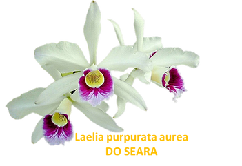 Laelia purpurata nativa aurea do seara