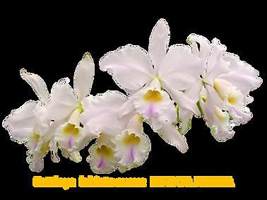 Cattleya labiata suave marcia regina nativa