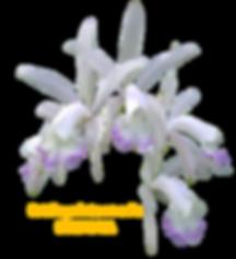 Cattleya intermedia nativa irrorata