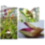 pragas nas orquideas, mosquito, Contarinia maculipennis