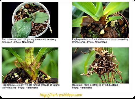 fungos em orqudieas, raízes podres, rizoctoniose, rhizoctonia solani