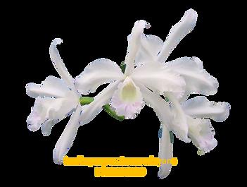 Laelia purpurata nativa mandayana brigadeiro