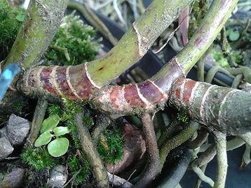 fungos em orqudieas, fusariose, canela seca, fusarium oxysporum