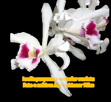 Laelia purapurata vinicolor oculata nativa