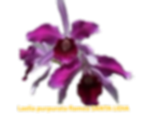 Laelia purpurata nativa vermelha de santa lidia