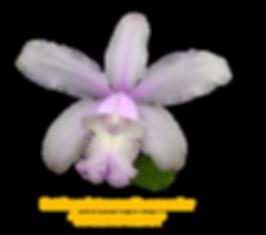 Cattleya intermedia nativa concolor maria faceira