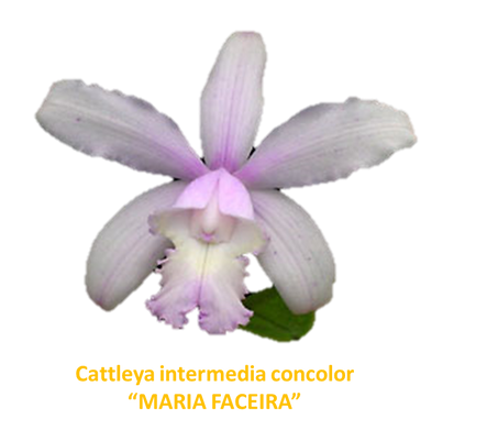 Cattleya intermedia nativa concolor maria faceira