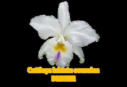 Cattleya labiata coeruela Dreher nativa