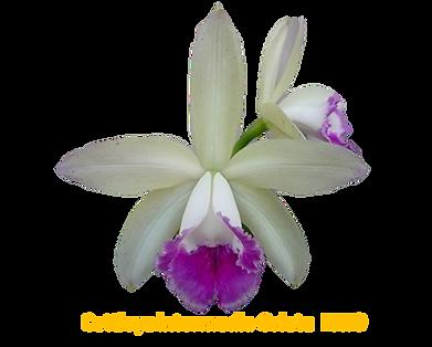 Cattleya intermedia nativa orlata ennio