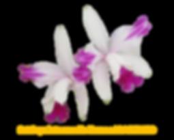 Cattleya intermedia nativa flamea joaozinho