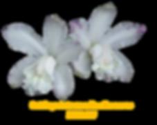 cattleya intermedia nativa albescens  stumpf