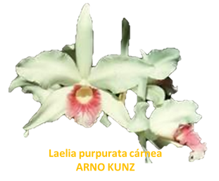 Laelia purpurata nativa carnea arno kunz