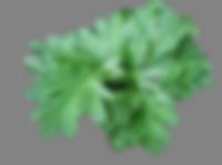 remedios caseiros para orquideas, combate de pragas em orquideas, losna