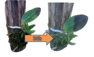 podridão negra em orquideas, phytium ultimum, phytophtora cactorum, brotos apodrecem