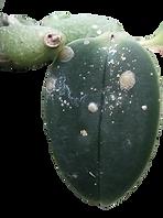 pragas nas orquideas, cochonilhas