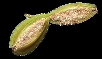 Como fazer mudas de orquideas, sementes de orquideas