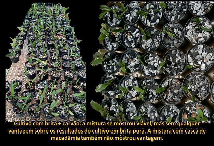 cultivo de orquideas em britas pedras marcelo zager