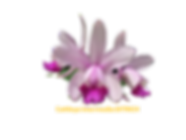 Cattleya intermedia nativa ditrich