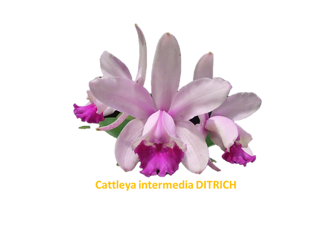 Cattleya intermedia nativa ditrich