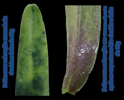 Deficiência de magnésio nas orquideas adubação