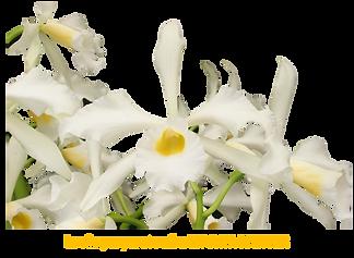 Laelia purpurata nativa alba marcia richter