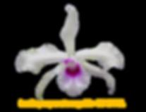 Laelia purpurata nativa argolão koeppel