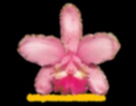 Cattleya intermedia nativa figueirinha