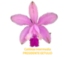 Cattleya intermedia nativa presidente getulio