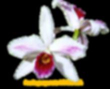 Laelia purpurata nativa milionária
