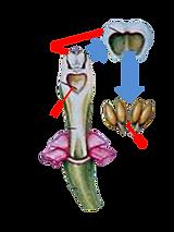 orquideas, polineas, coluna, flor