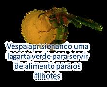 Vespa parasita orquidea insetos beneficos