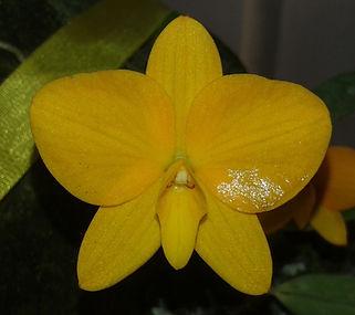 orquidea sophronitis coccinea amarela