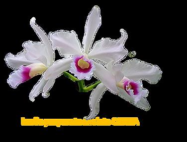 Laelia purpurata nativa anelata celina