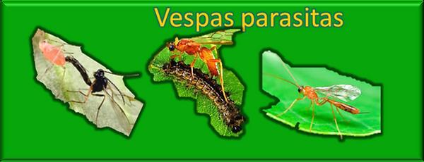 Vespas parasitas amigos das orquideas cultivo pragas