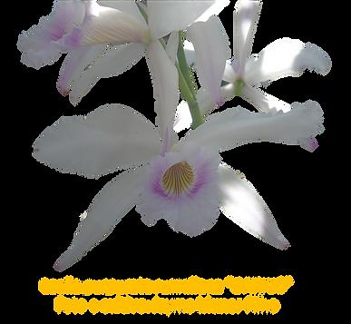 Laelia purpurata russeliana darius nativa