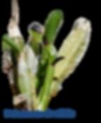 deficiência de cálcio nas orquídeas adubação