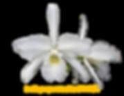 Laelia purpurata nativa alba campeã