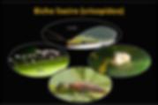 Bicho lixeiro crisopideo amigo das orquideas cultivo pragas