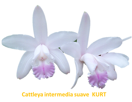 Cattleya intermedia nativa suave kurt