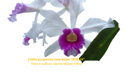 Laelia purpurata roxo-bispo nativa adelia