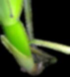 bulbo das orquideas