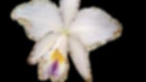 pragas nas orquideas, trips, thrips, tripes