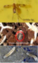 pragas nas orquideas, fungus gnats, mosquitos, bradysia, sclara, orfélia, larvas no substrato