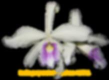 Laelia purpurata nativa josephinae knoll