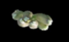 botões de orquideas