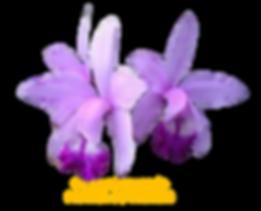 Cattleya intermedia pintada do tenente