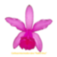 Cattleya intermedia nativa rubra padre vitus