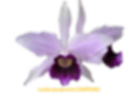 Laelia purpurata nativa campeira